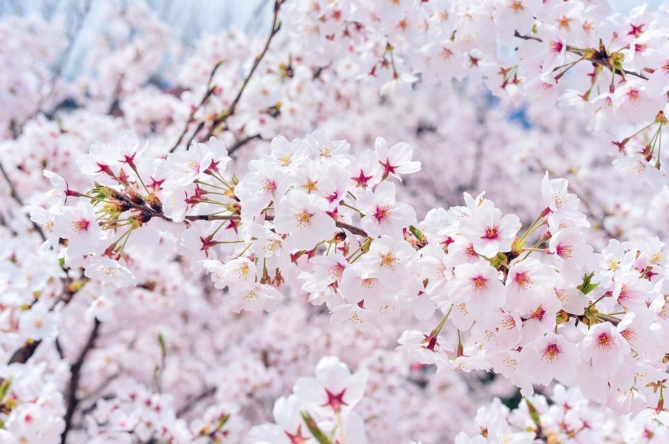 ソウルで【お花見】を楽しもう!話題のお花見スポットまとめ